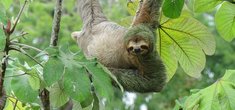 green fur sloth